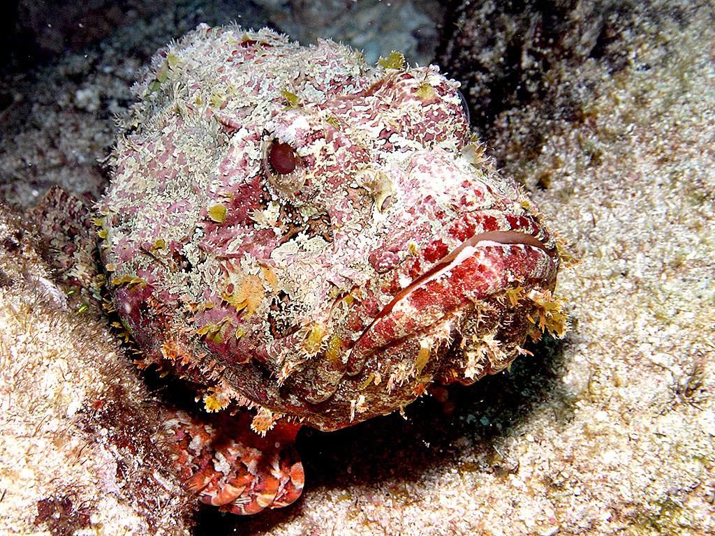 Resultado de imagen para pez piedra