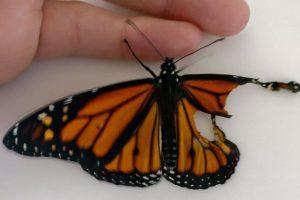 """Una mariposa se rompió el ala pero la """"operaron"""" y así quedó 😮"""